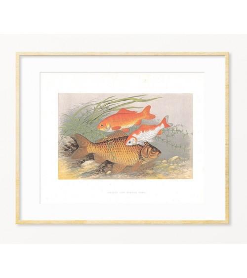 Šaran i zlatne ribice art reprodukcije starinskih slika za dekoraciju enterijera