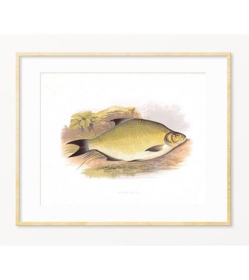 Poklon za ribolovca - art print DEVERIKA iz serije SLATKOVODNE RIBE