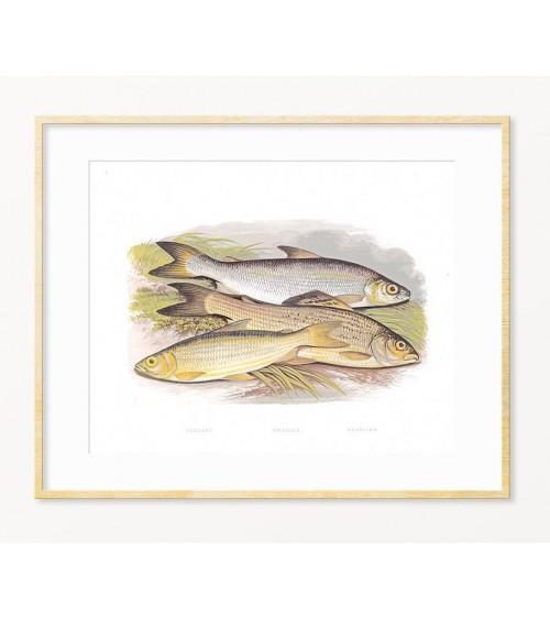 Poklon za ribolovca - art print sa temom SLATKOVODNE RIBE