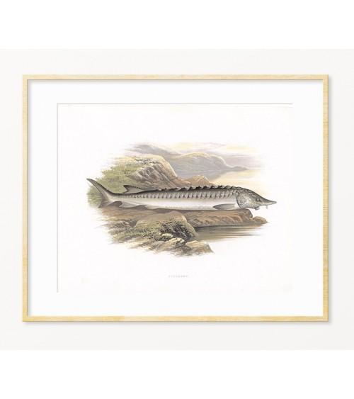 Jestera - art print za enterijer - poklon za ribolovca