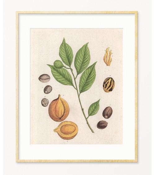 Muskatni oraščić slike za zid prodaja