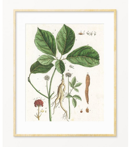 Ženšen lekovite biljke slike za zid prodaja