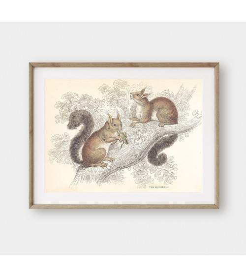 Veverice vintidž slike za dekoraciju enterijera